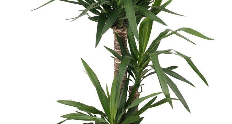yucca in vaso
