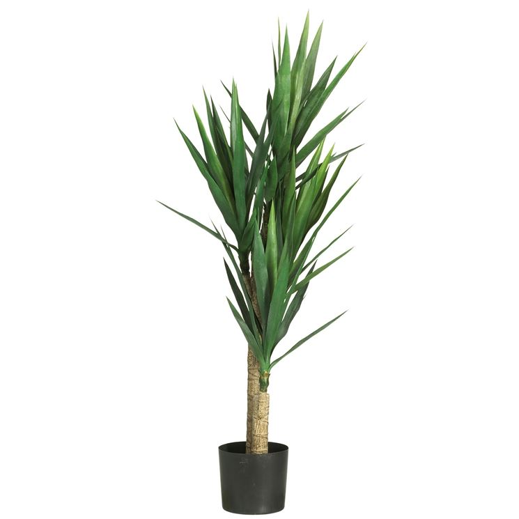 Yucca yucca aloifolia piante da interno yucca for Piante da interno alte