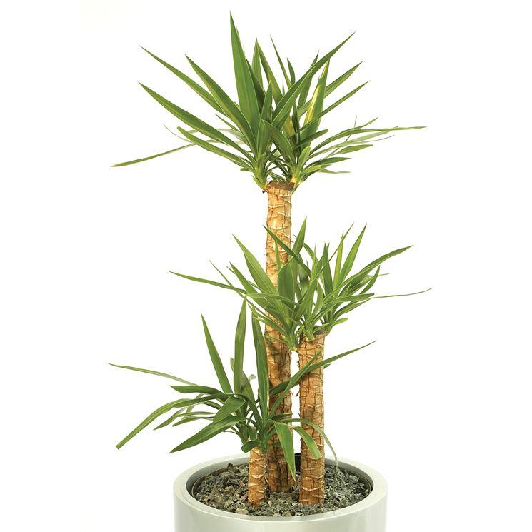 Yucca Yucca Aloifolia Piante Da Interno Yucca