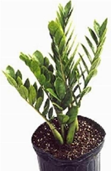 Zamia - Zamioculcas zamiifolia - zamioculcas - Zamioculcas ...