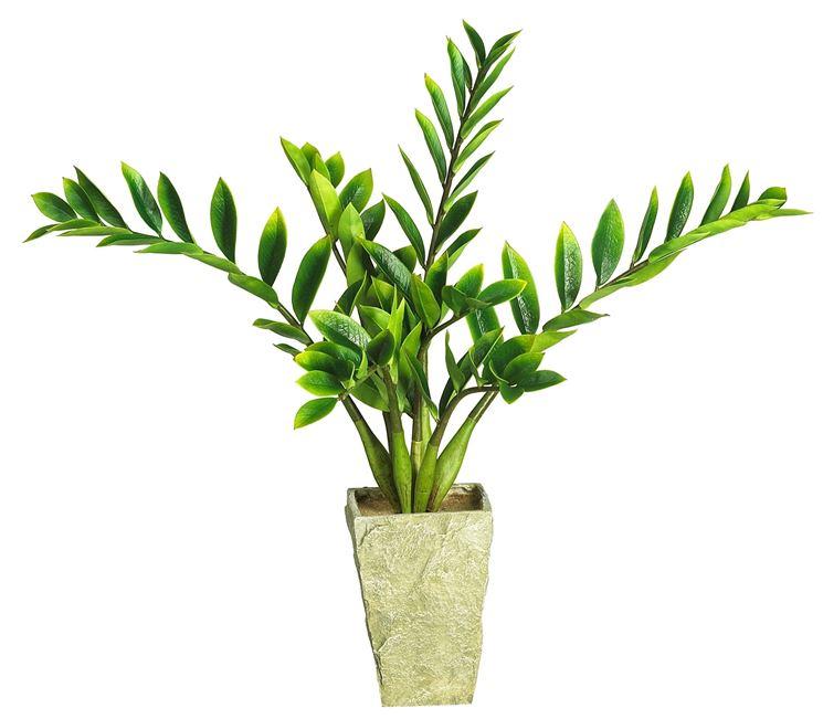 Zamia zamioculcas zamiifolia zamioculcas zamioculcas for Piante da interno
