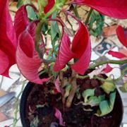 Stella Di Natale Secca.Stella Di Natale Domande E Risposte Piante Appartamento Stella