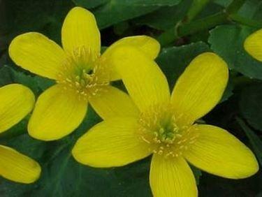 http://www.flowers-cs.com/Pictures/cowslip.jpg