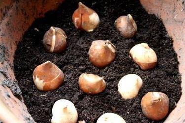 coltivare bulbi