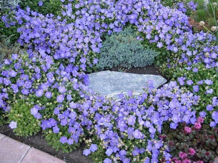 campanula in giardino