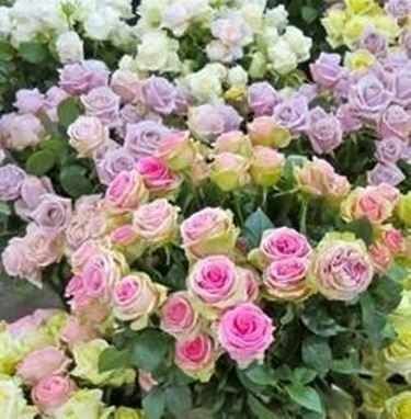 Giardino di rose progettazione giardino for Rose da giardino