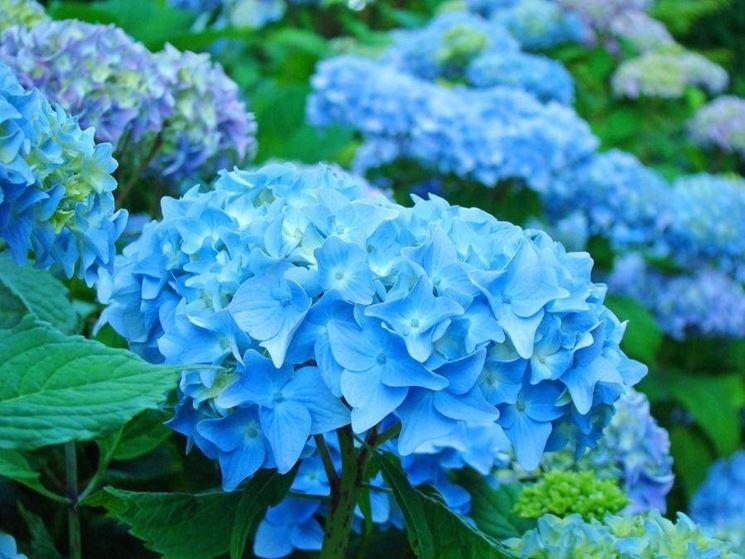 ortensie azzurre