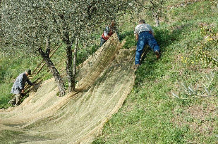 Fissaggio dei teli per la raccolta