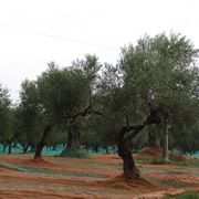 Un oliveto
