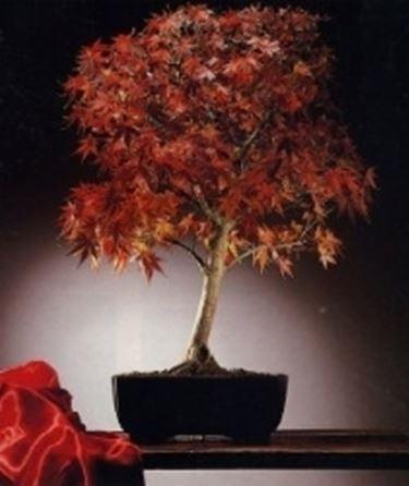 Acero giapponese acer palmatum acer palmatum schede for Acero giapponese in vaso
