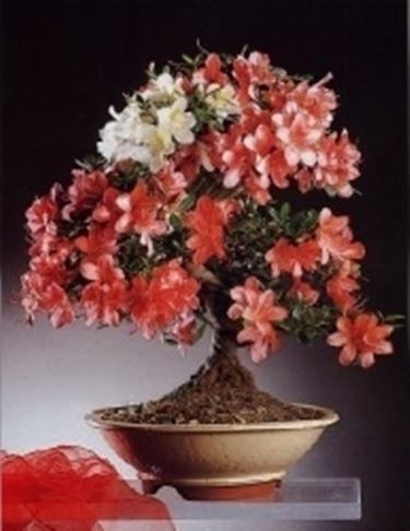 Azalea japonica bonsai
