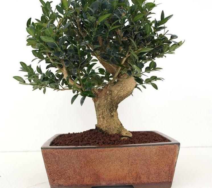 bonsai di bosso