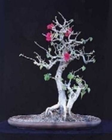buganville bonsai