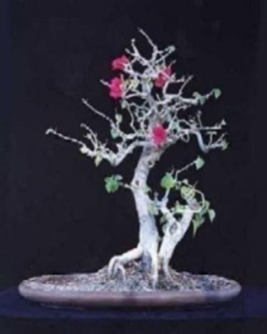 buganville bonsai