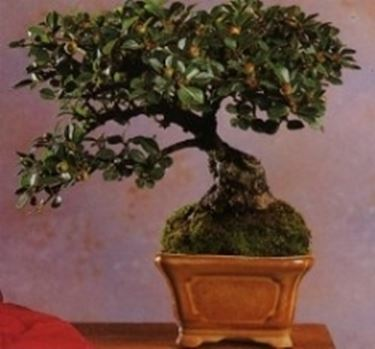 Cotonastro bonsai