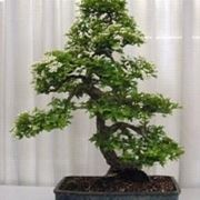 Biancospino bonsai