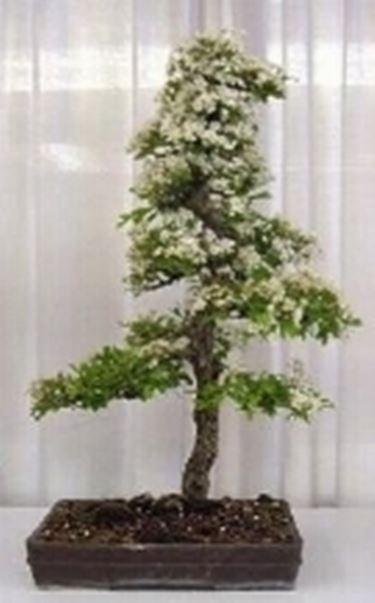 Bonsai biancospino