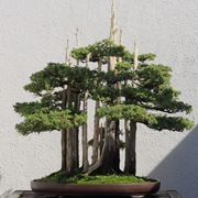 Cipresso bonsai