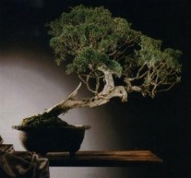 Cipresso bonsai