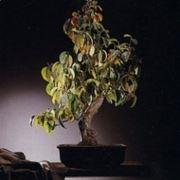 Cydonia bonsai