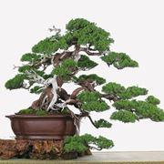 Schede Bonsai