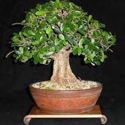 piante bonsai