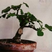 Fico bonsai