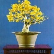Forsizia bonsai