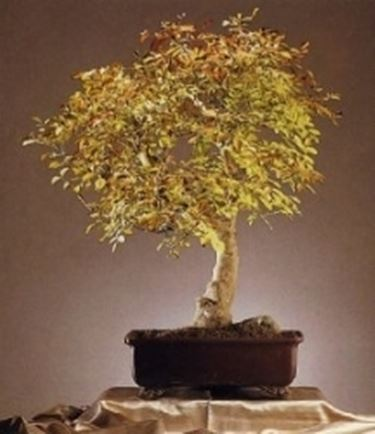 Frassino bonsai