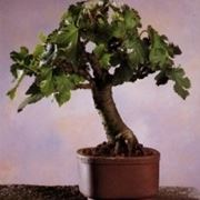 gelso bonsai