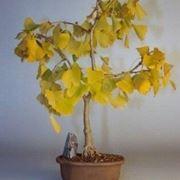 ginco bonsai