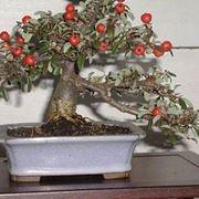 bonsai melo