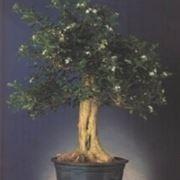 Murraia bonsai