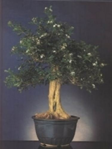Murraia bonsai