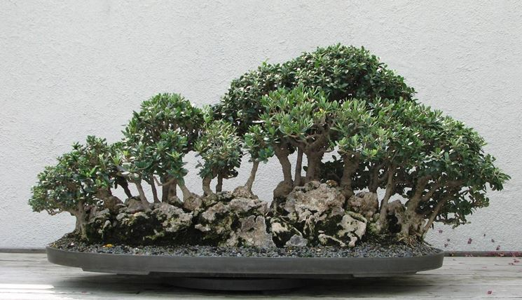 Ulivo olea europea olea europea schede bonsai for Olivo bonsai prezzo