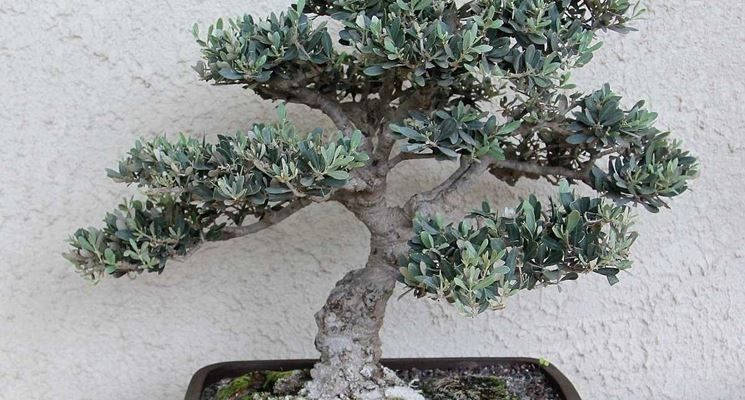 Ulivo Bonsai