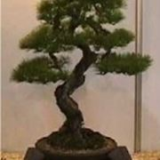 bonsai picea