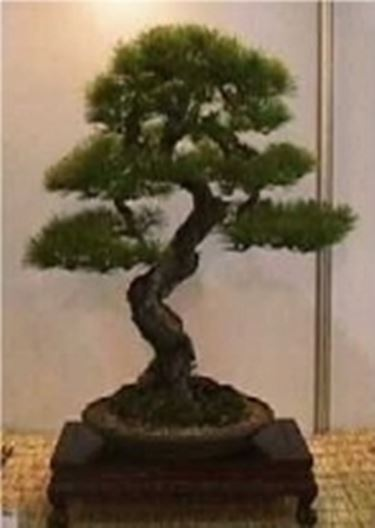 bonsai picea