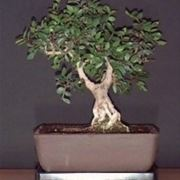 Pistacchio bonsai