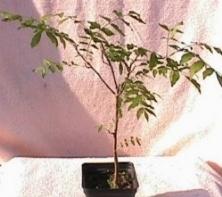Pistacchio pistacia vera pistacia vera schede bonsai for Pianta pistacchio prezzo