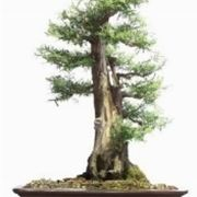 Podocarpo bonsai