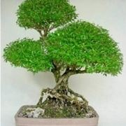 Serissa bonsai