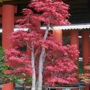acero bonsai