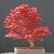 Bonsai acero palmato domande e risposte bonsai for Acero rosso canadese prezzo
