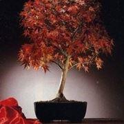 bonsai di acero