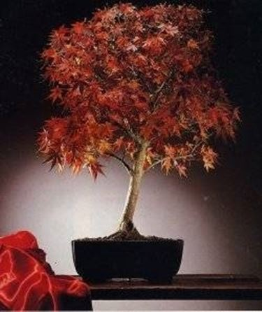 bonsai di acero