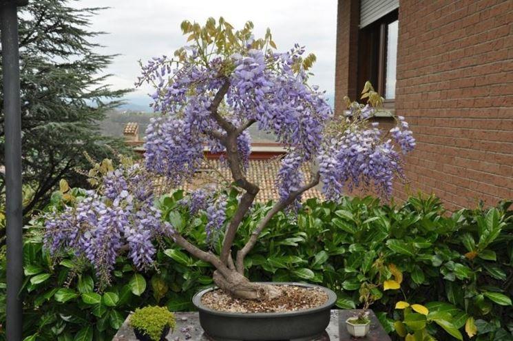 bonsai domande e risposte bonsai bonsai di glicine