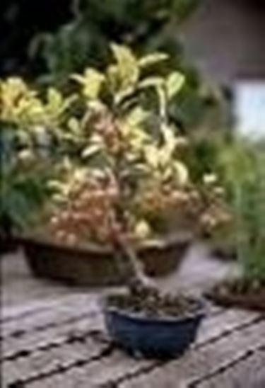 Melo bonsai