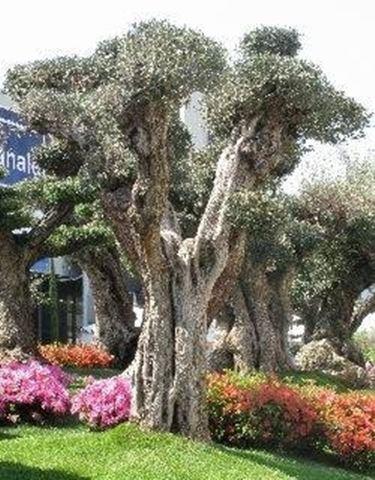 Bonsai olivo domande e risposte bonsai - Giardino con ulivo ...
