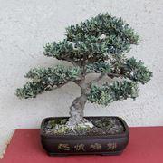 bonsai olivo